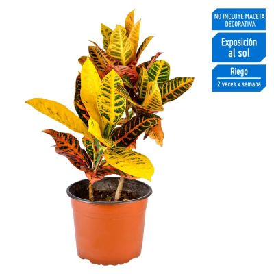 Croton Petra 30cm