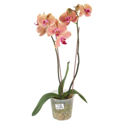 Orquídea Natural Phalae 2 Varas