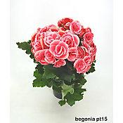Begonia Pote 15