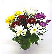 Crisantemo Pote 13