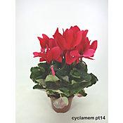 Cyclamen, Pote 14