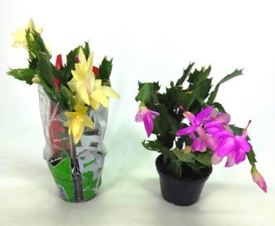Flor de Maio Pote 11