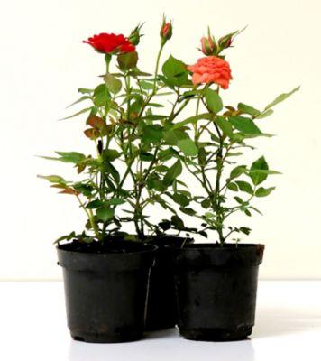Roseira Mini Pote 06