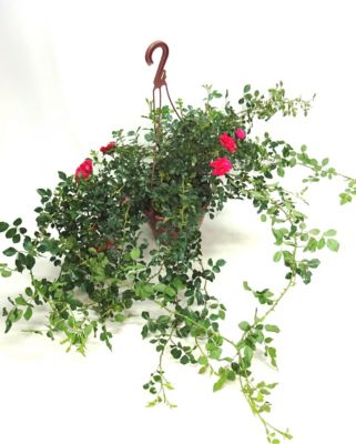 Roseira Pendente Cuia 26