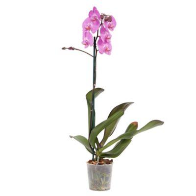 Orquídea Phalaenopsis Pote 12