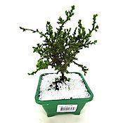 Bonsai Junior, Verde