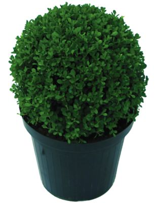 Buxinho Pote 27, Verde
