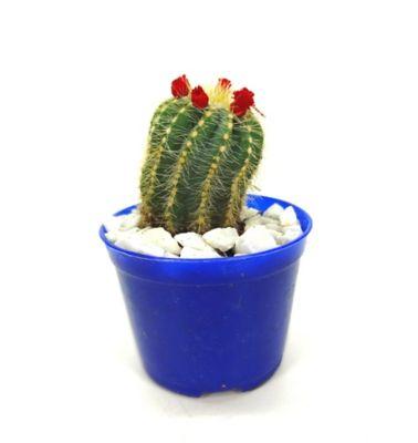 Cactus Enxertado Pote 07