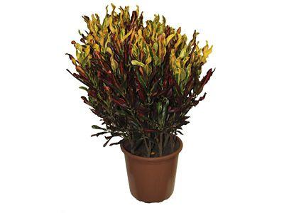 Croton Gingha Pote 24