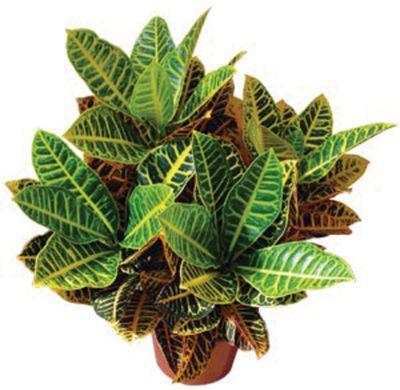 Croton Hib Petra Pote 24