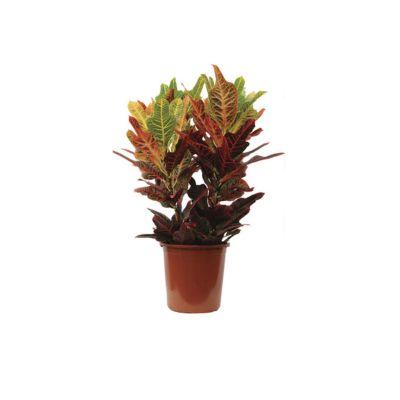 Croton Pote 30