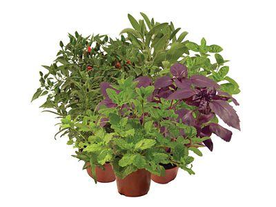 Ervas Aromáticas Pote 11