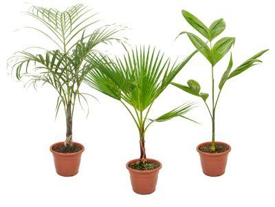 Palmeira Diversas Pote 24