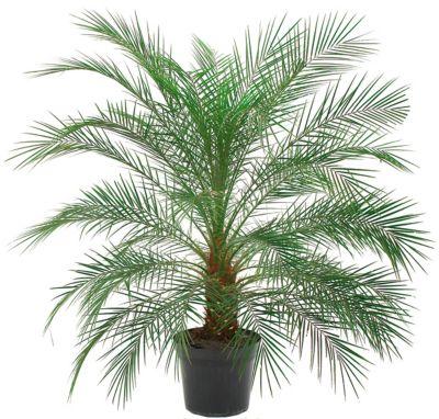 Palmeira Phoenix Pote 30