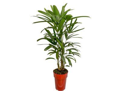 Palmeira Raphis Pote 17