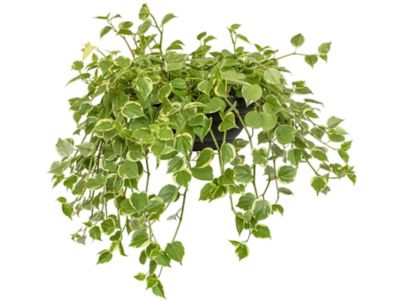 Peperomia Scands C21