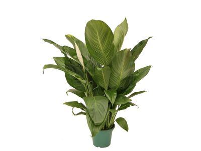 Spathiphyllum Lírio da Paz Pote 14