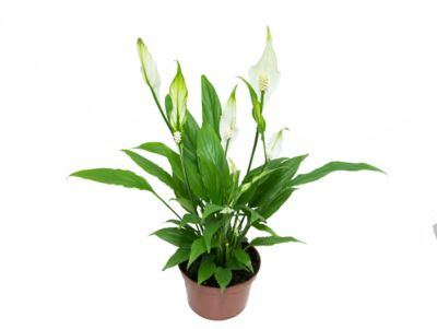 Spathiphyllum Lírio da Paz Pote 11