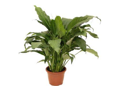 Spathiphyllum Lírio da Paz Pote 24