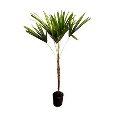 Palmeira Raphis Natural
