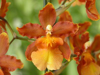 Orquídea Catatante, Laranja