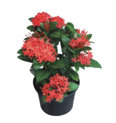 Planta Ixora Pote 19 Veilling Holambra  Vermelha