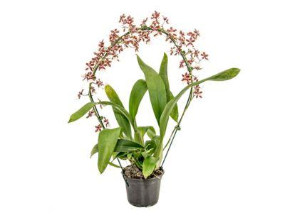 Orquídea Oncidium Sharry Baby Marrom