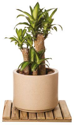 Arbusto Dracena Massageana Pote 30cm