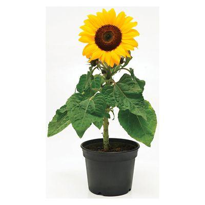Girassol Pote 15 36x15cm Amarelo