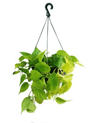 Plantas Verdes Pendentes Diversas Cuia 25