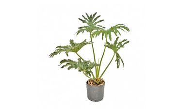 Philodendron Guaimbe Pote 24