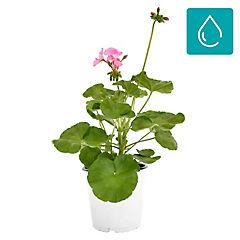 Pelargonium hortorum 0,3 m exterior