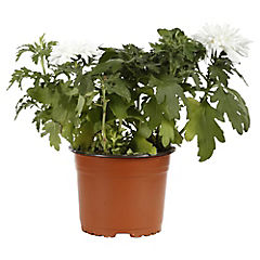Crisantemo blanco 0,4 m