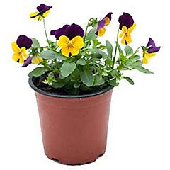 Viola cornuta 0,1 m exterior