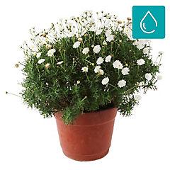 Argyranthemum frutescens 0,5 m exterior
