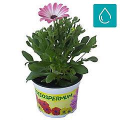 Osteospermum daisy 0,20 m