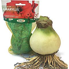 Bulbo amaryllis