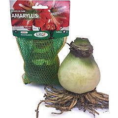 Bulbo amaryllis Rojo