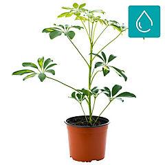 Schefflera arboricola 0,5 m interior