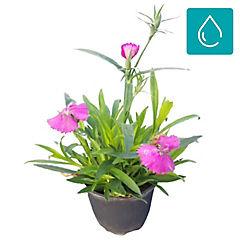 Dianthus hybrid 0,1 m exterior