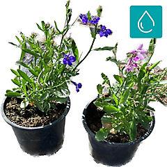 Lobelia erinus 0,1 m exterior