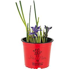 Iris reticulata 0,2 m exterior