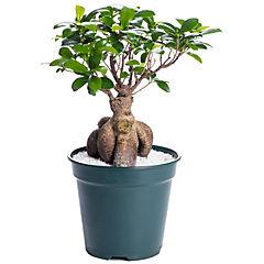 Ficus microcarpa grinseng 0,4 m interior