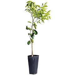 Mandarino w-murcott 1,30m