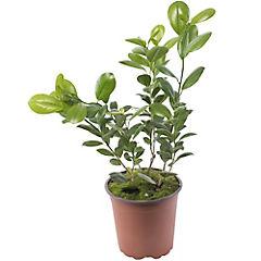 Ficus microcarpa 0,6 m