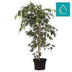 Ficus benjamina 1,5 m interior