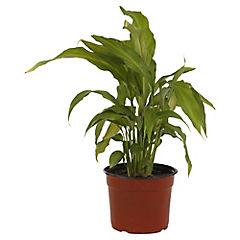 Spathiphyllum 0,2 m