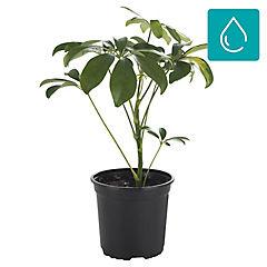Schefflera arboricola 0,4 m interior