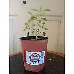 Stevia 0,10m
