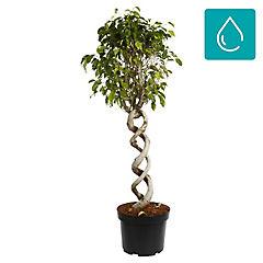 Ficus benjamina 1 m interior